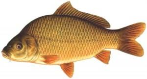 cá chép được mệnh danh là loại thực phẩm thượng hạng