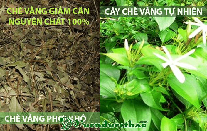 cay-che-vang-giam-can